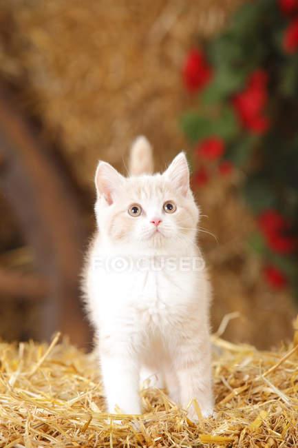 Gatinho de Shorthair britânico sobre palha em celeiro — Fotografia de Stock