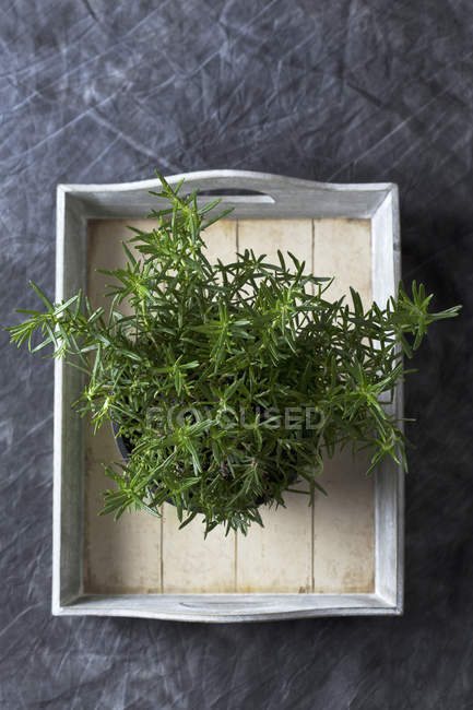 Rosemary on tray, top view — Stock Photo