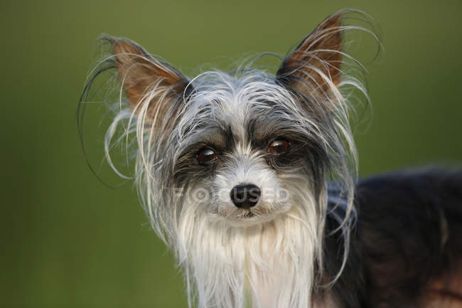 Close-up of chinese crested dog looking at camera — Stock Photo