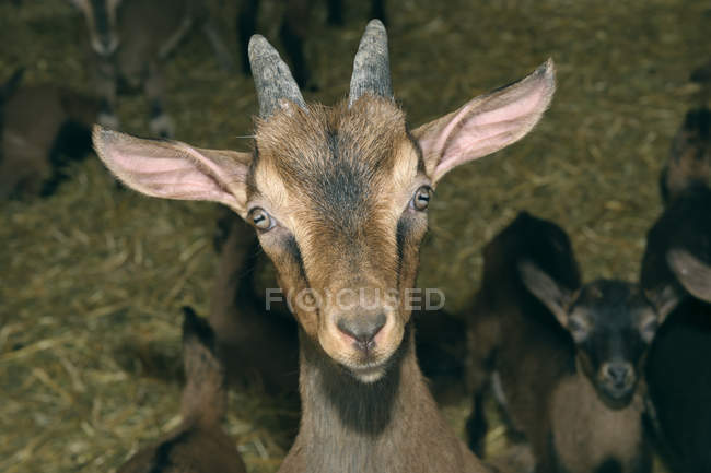 Портрет goatling дивиться в камеру з кіз у фоновому режимі в сарай — стокове фото
