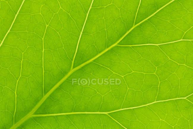 Жилок листа зелений, крупним планом — стокове фото