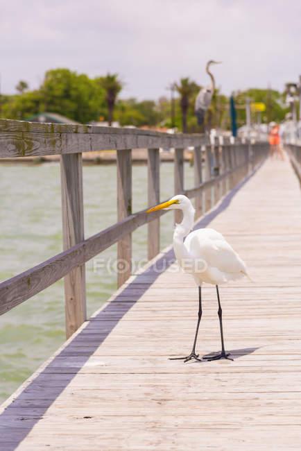 Airone bianco che si appollaia sul molo, Texas, Stati Uniti d'America — Foto stock