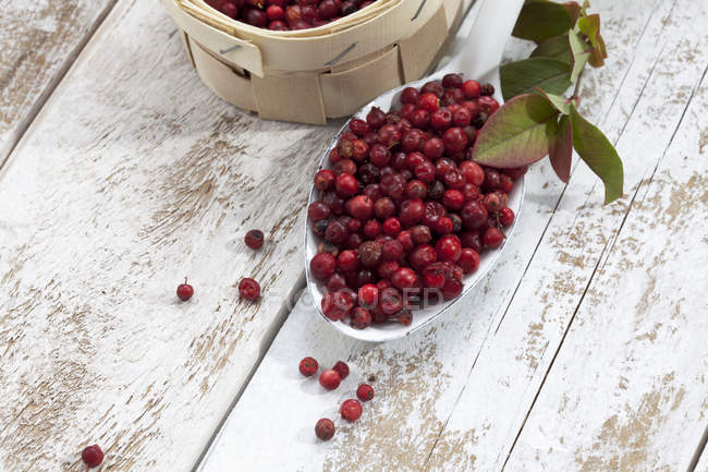 Fresh picked Cranberries in little basket and on spoon on white shabby wood — Stock Photo
