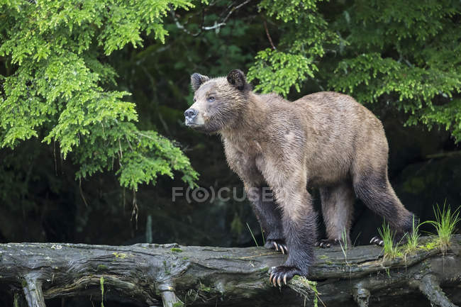 Female grizzly bear standing on tree trunk, side view — Stock Photo
