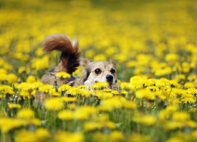 Mixed breed dog running in blooming meadow — Stock Photo