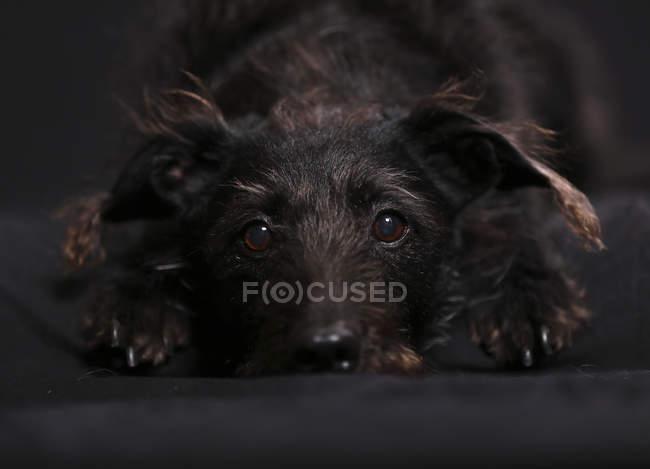 Cane di razza mista sdraiato sul tappeto nero — Foto stock