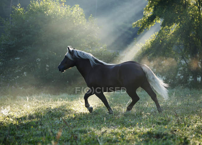 Black forest horse running on grass — Stock Photo