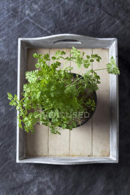 Kerbel wächst im Topf auf Holztablett — Stockfoto