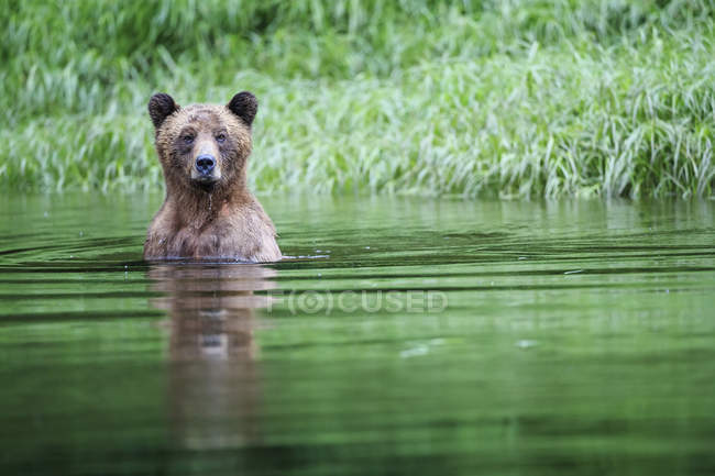 Female grizzly bear walking by pole in green forest — Stock Photo