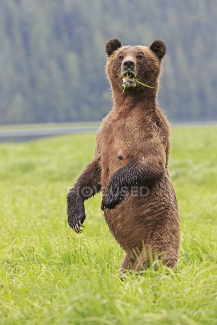 Weibliche grizzly stehend im Khutzeymateen Grizzly Bear Sanctuary, Kanada — Stockfoto