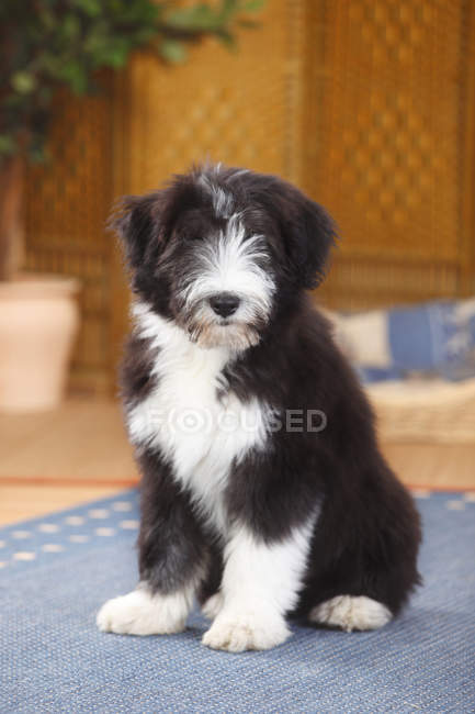 Bearded Collie puppy sitting on blue carpet and looking at camera — Stock Photo