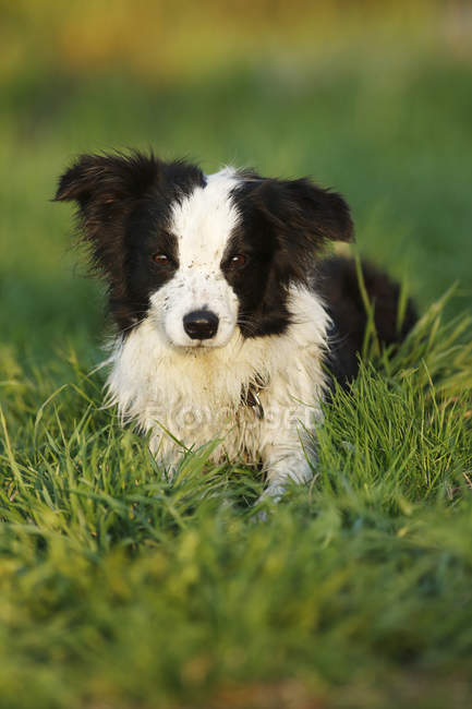 Border Collie puppy lying on grass — Stock Photo