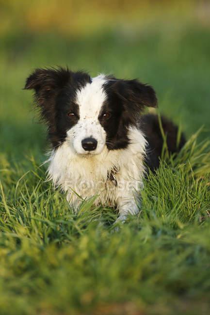 Щенок Колли лежит на траве — стоковое фото