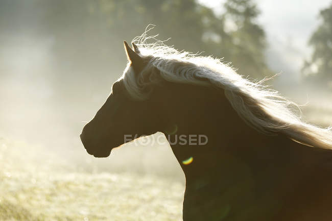 Black Forest horse profile view in backlit, Allensbach, Baden-Wrttemberg, Germany — Stock Photo