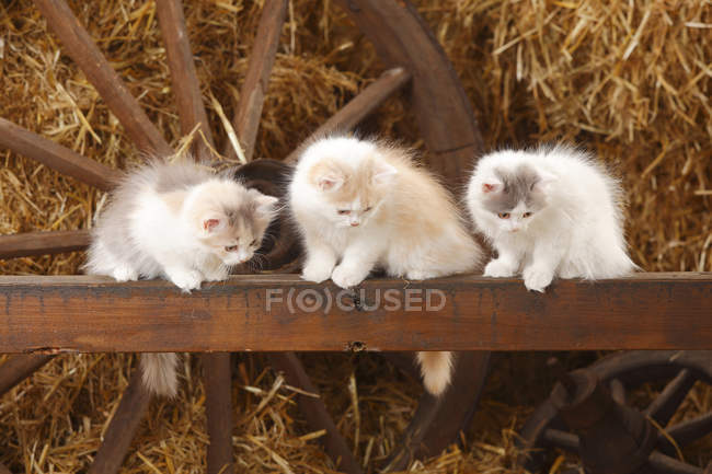 British Longhair kittens sitting on wooden slat in barn and looking down — Stock Photo