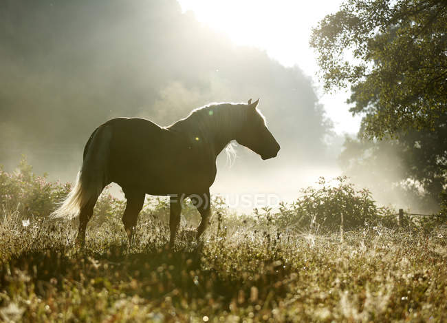 Germany, Baden Wuerttemberg, Black forest horse walking on grass in backlit — Stock Photo