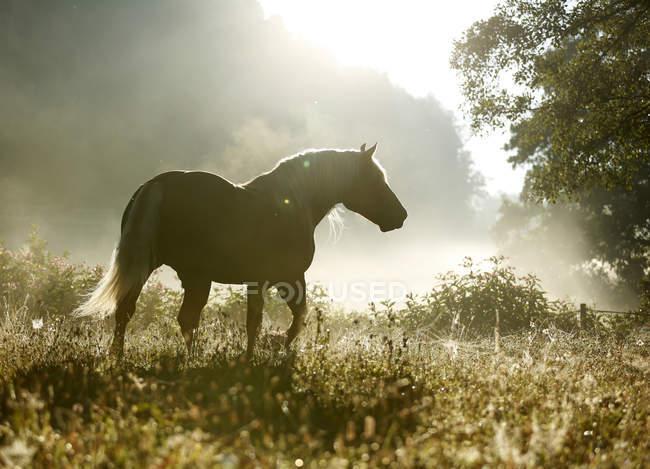 Alemanha, Baden Wuerttemberg, floresta negra cavalo andando na grama em contraluz — Fotografia de Stock