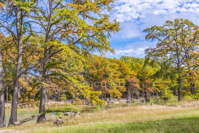 Texas Hill Country Landscape At Fall Colorful Cypress Trees At The Frio River At Garner State Park Concan Texas Shore United States Stock Photo 181867938