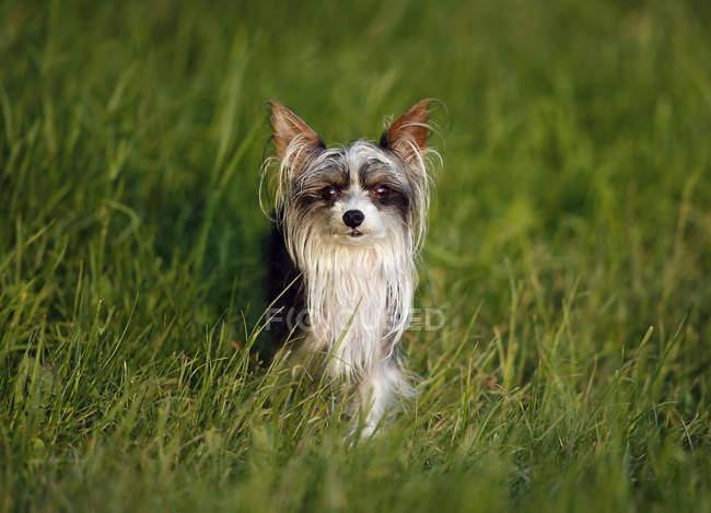 Китайська хохлата собака сидячи на траві і, дивлячись на камеру — стокове фото