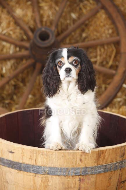 Cavalier King Charles Spaniel standing in tub in barn — Stock Photo