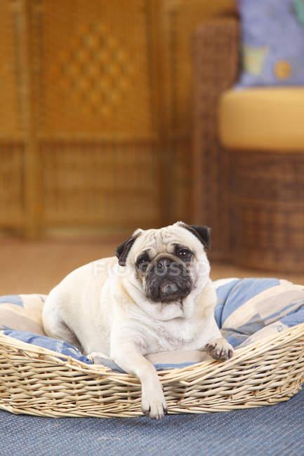 Pug lying in dog basket on blue carpet — Stock Photo