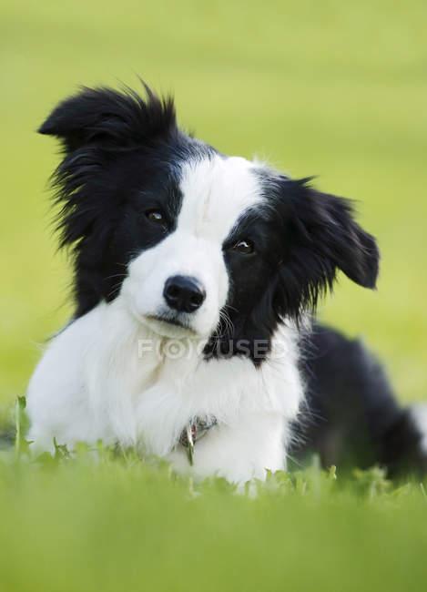 Собака лежит на траве и смотрит в камеру. — стоковое фото