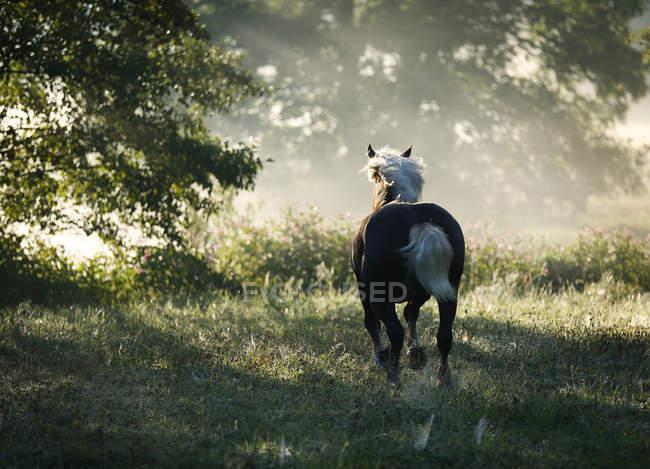 Alemanha, Baden Wuerttemberg, floresta negra cavalo correr na grama, vista traseira — Fotografia de Stock