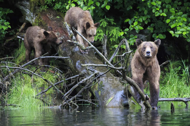 Female grizzly with kids at lake, Khutzeymateen Grizzly Bear Sanctuary, Canada — Stock Photo