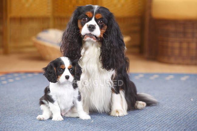 Cavalier King Charles Spaniel with puppy sitting on carpet — Stock Photo