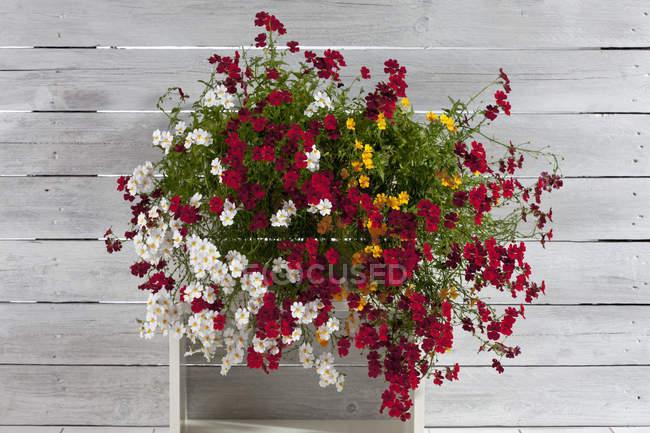 Flores de Nemesia en caja sobre mesa de madera pintada, de cerca - foto de stock