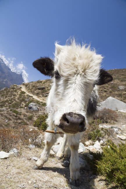Nepal, Everest Base Camp Trek, giovane che guarda l'obbiettivo dei yak — Foto stock