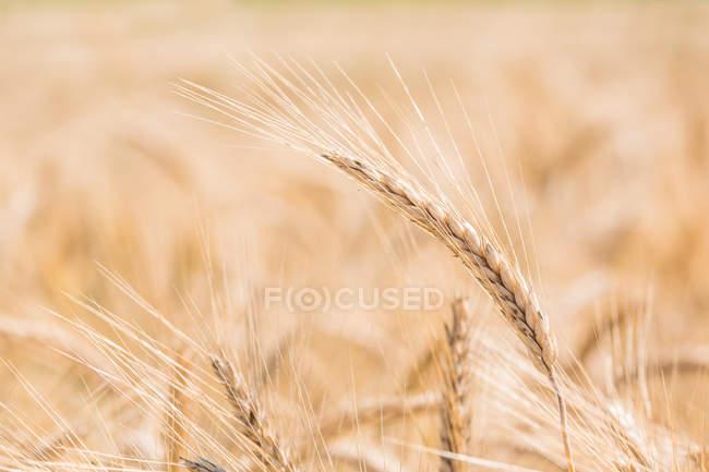 Closeup de picos no campo de trigo — Fotografia de Stock