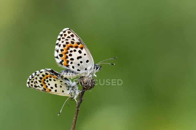 Detailansicht der Paarung Schmetterlinge — Stockfoto