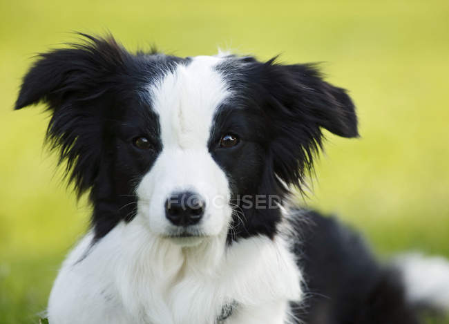 Black and white Border Collie dog looking at camera — Stock Photo
