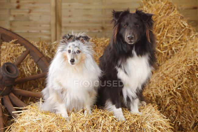 Shetland Sheepdogs sitting on straw in barn — Stock Photo