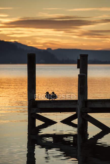 Canards se percher sur la jetée au bord du lac de Constance au coucher du soleil — Photo de stock