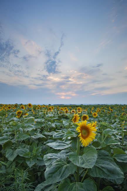 Vista do campo de girassol por do sol de Burgenland, Áustria — Fotografia de Stock