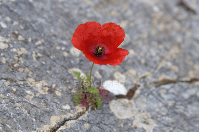 Turkey, Aegean, Papaver rhoeas growing on rock — Stock Photo
