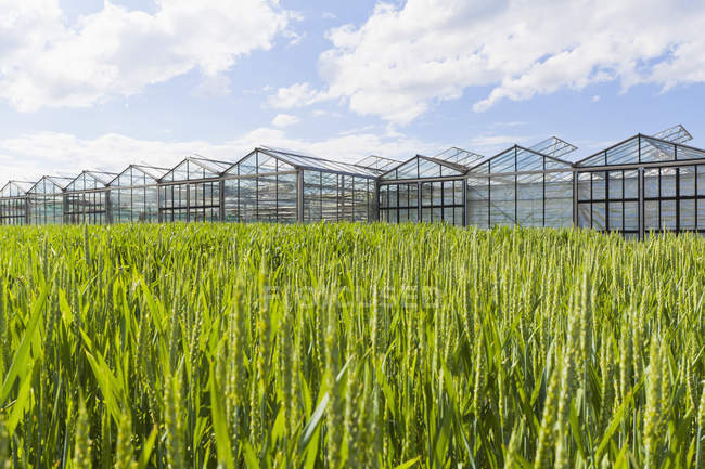 Wheat field and greenhouses in Fellbach, Baden-Wuerttemberg, Germany — Stock Photo