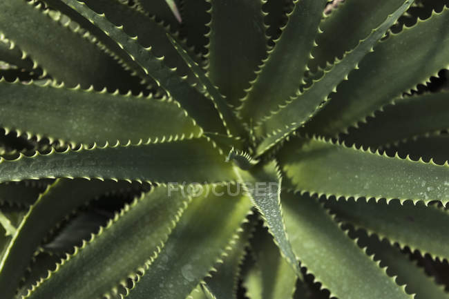 Botanical garden, Aloe on black background, close up — Stock Photo