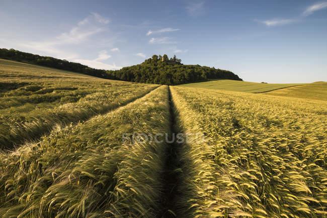 Vue du champ d'orge dans le paysage de hegau — Photo de stock