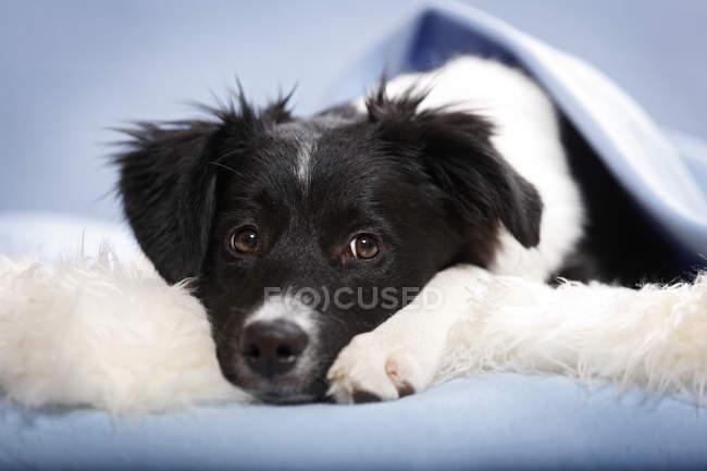 Bordo collie cucciolo sdraiato su soffice tappeto e guardando la fotocamera — Foto stock