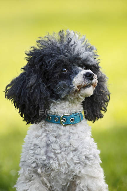 Close-up of black and white Poodle looking sideways — Stock Photo