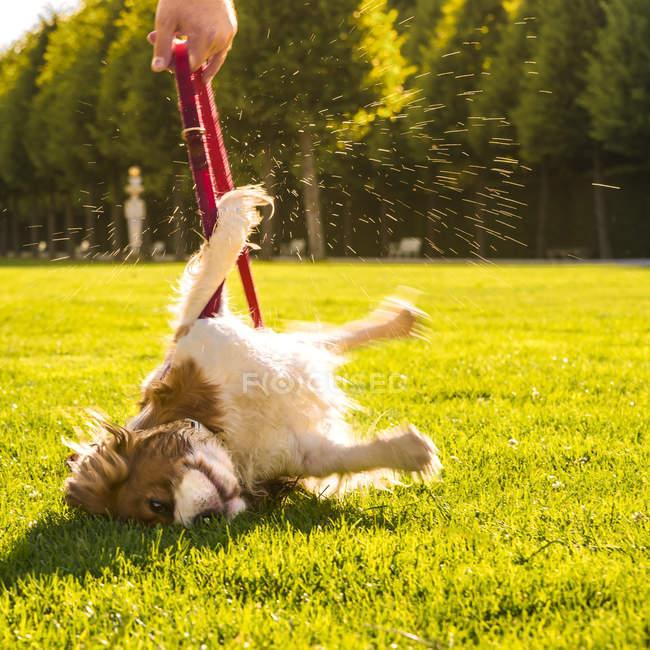 Hund, canis lupus familiaris, rollt auf einer Wiese herum, während sein Herrchen die Leine hält — Stockfoto