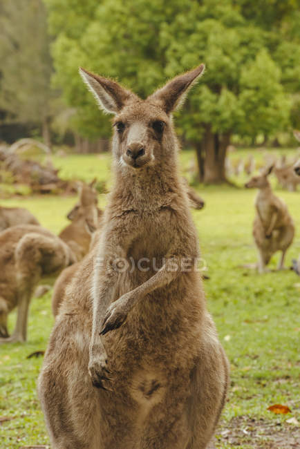 Австралія, новий Південний Уельс, kangoroos (Macropus giganteus) на Луці — стокове фото