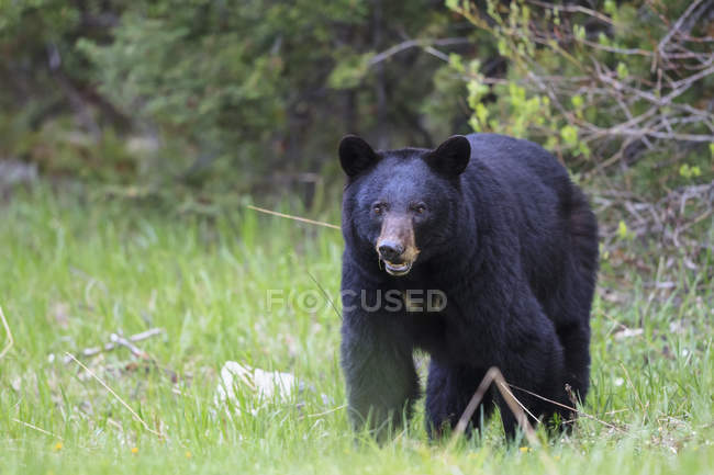 American black bear (Ursus americanus) on a meadow — Stock Photo