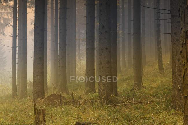 Австрия, Штирия, Пернег-ан-дер-Мур, Пастбище Бергланд, сосновый лес в туман — стоковое фото