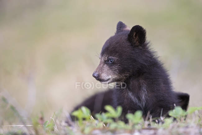 Closeup view of American black bear (Ursus americanus) cub on meadow — Stock Photo