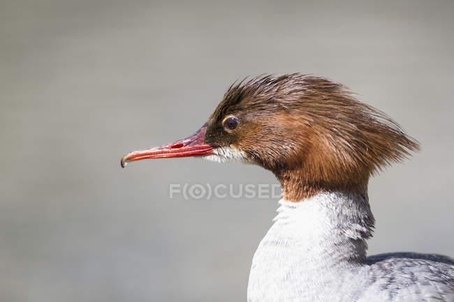 Vue de tête de canard Harle Bièvre — Photo de stock