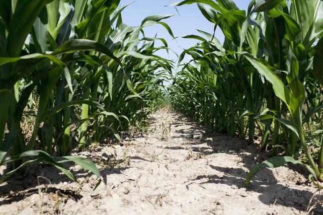 Maizefield com fileira de plantas de milho (Zea mays) — Fotografia de Stock